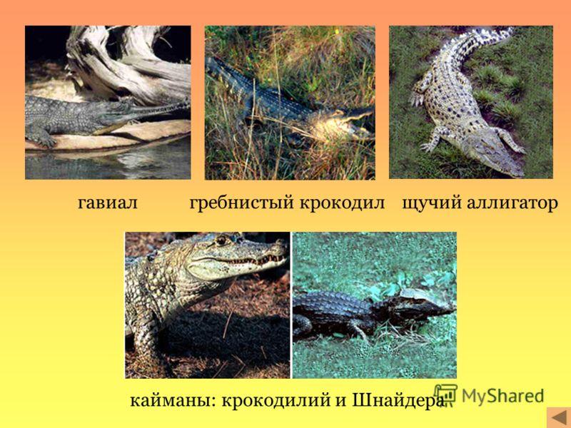 гавиалгребнистый крокодилщучий аллигатор кайманы: крокодилий и Шнайдера
