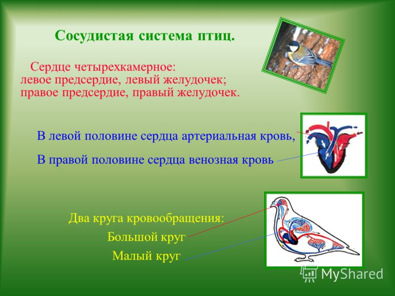 Сосудистая система амфибий. Сердце трехкамерное: правое предсердие, левое предсердие; один желудочек. В правом предсердии венозная кровь, В левом предсердии артериальная кровь Желудочек заполнен смешанной кровью. Два круга кровообращения: Большой кру