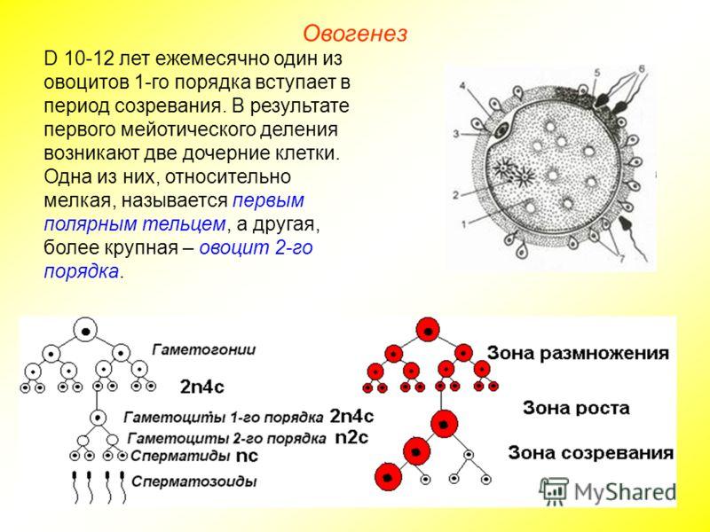 Овогенез D 10-12 лет ежемесячно один из овоцитов 1-го порядка вступает в период созревания. В результате первого мейотического деления возникают две дочерние клетки. Одна из них, относительно мелкая, называется первым полярным тельцем, а другая, боле