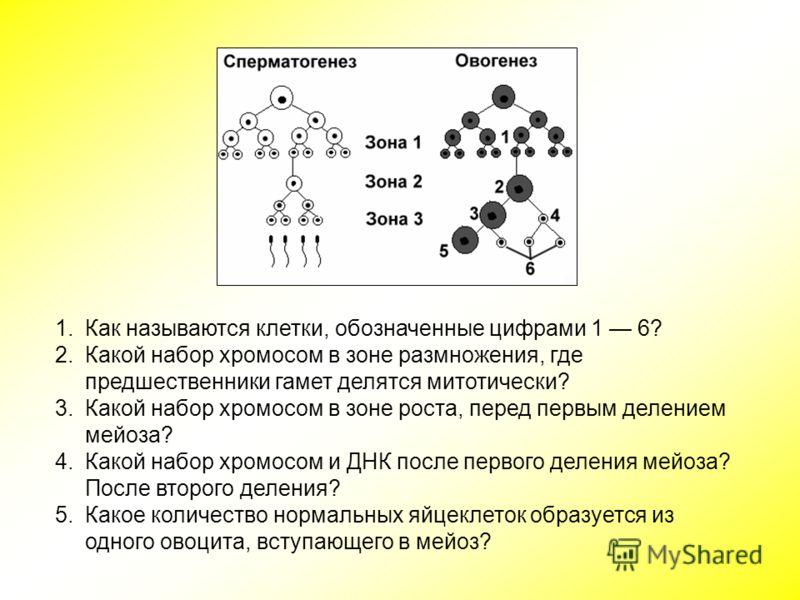 1.Как называются клетки, обозначенные цифрами 1 6? 2.Какой набор хромосом в зоне размножения, где предшественники гамет делятся митотически? 3.Какой набор хромосом в зоне роста, перед первым делением мейоза? 4.Какой набор хромосом и ДНК после первого