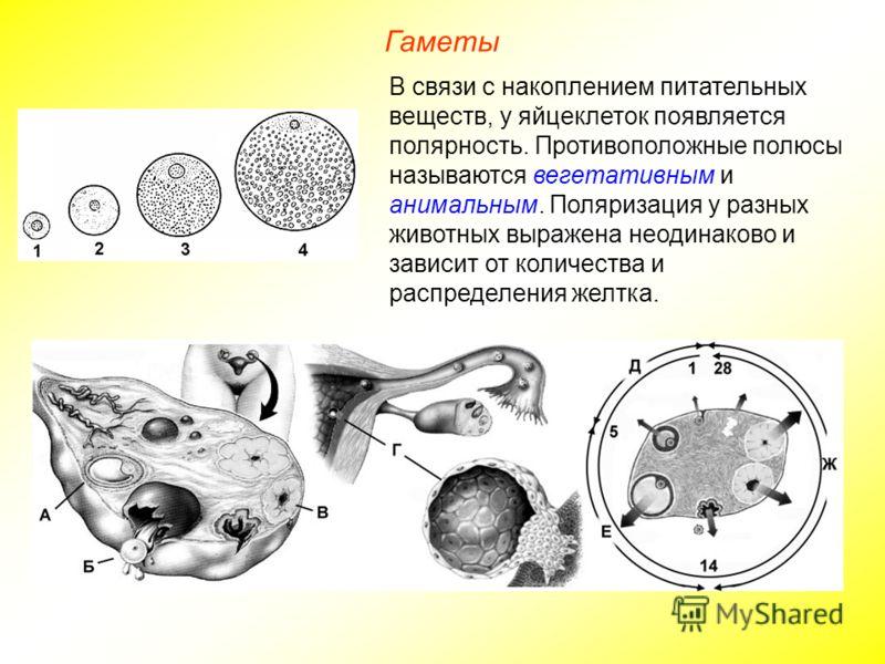 Гаметы В связи с накоплением питательных веществ, у яйцеклеток появляется полярность. Противоположные полюсы называются вегетативным и анимальным. Поляризация у разных животных выражена неодинаково и зависит от количества и распределения желтка.