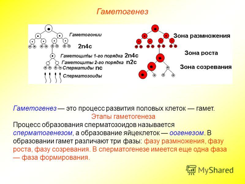 Гаметогенез Гаметогенез это процесс развития половых клеток гамет. Этапы гаметогенеза Процесс образования сперматозоидов называется сперматогенезом, а образование яйцеклеток оогенезом. В образовании гамет различают три фазы: фазу размножения, фазу ро