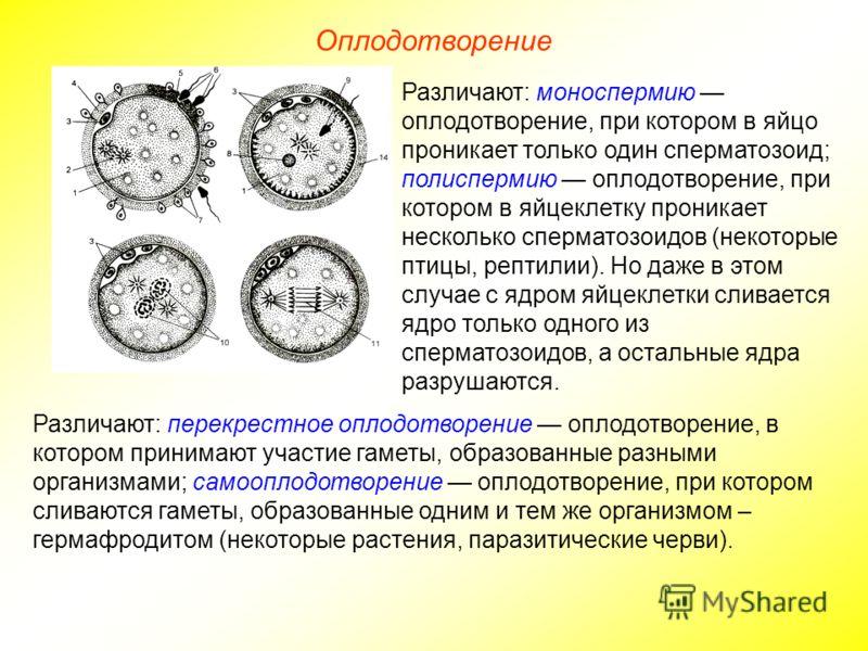 Оплодотворение Различают: моноспермию оплодотворение, при котором в яйцо проникает только один сперматозоид; полиспермию оплодотворение, при котором в яйцеклетку проникает несколько сперматозоидов (некоторые птицы, рептилии). Но даже в этом случае с
