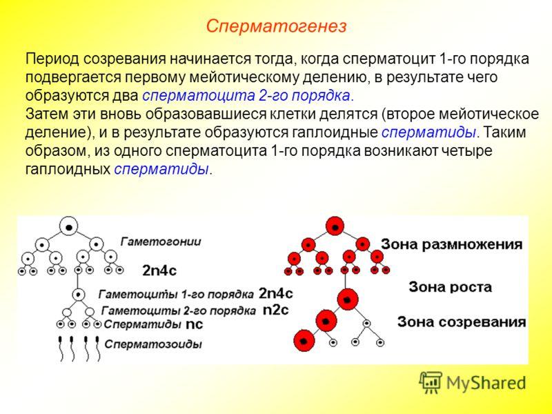 Сперматогенез Период созревания начинается тогда, когда сперматоцит 1-го порядка подвергается первому мейотическому делению, в результате чего образуются два сперматоцита 2-го порядка. Затем эти вновь образовавшиеся клетки делятся (второе мейотическо