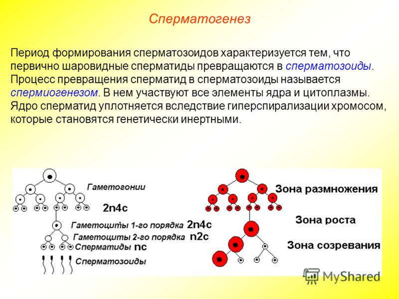 Сперматогенез Период формирования сперматозоидов характеризуется тем, что первично шаровидные сперматиды превращаются в сперматозоиды. Процесс превращения сперматид в сперматозоиды называется спермиогенезом. В нем участвуют все элементы ядра и цитопл