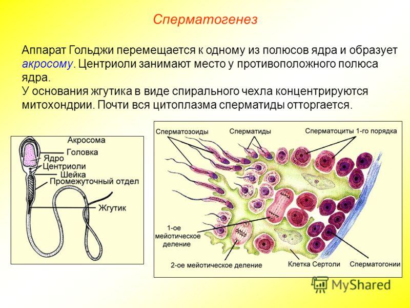 Сперматогенез Аппарат Гольджи перемещается к одному из полюсов ядра и образует акросому. Центриоли занимают место у противоположного полюса ядра. У основания жгутика в виде спирального чехла концентрируются митохондрии. Почти вся цитоплазма сперматид