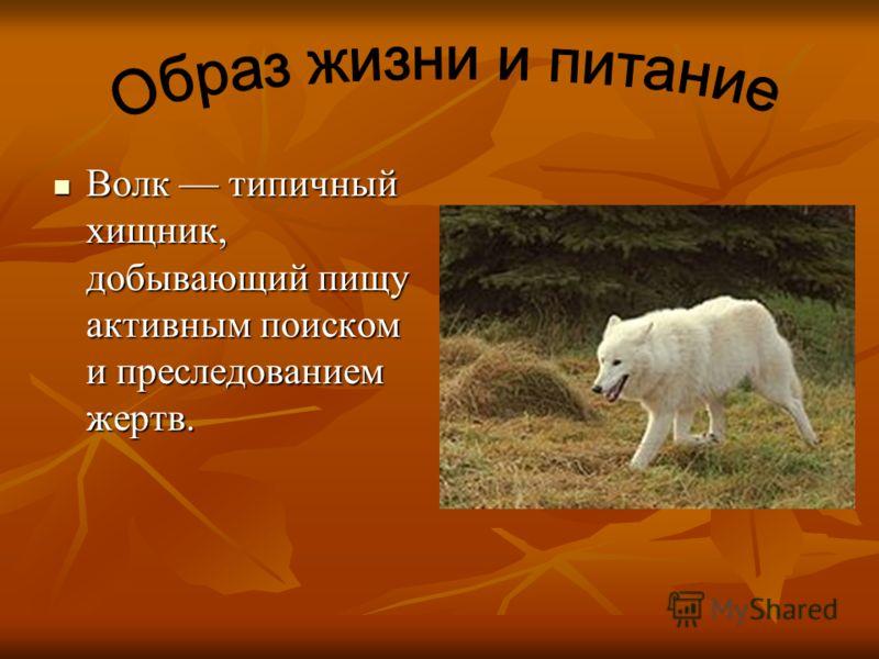 Волк типичный хищник, добывающий пищу активным поиском и преследованием жертв. Волк типичный хищник, добывающий пищу активным поиском и преследованием жертв.