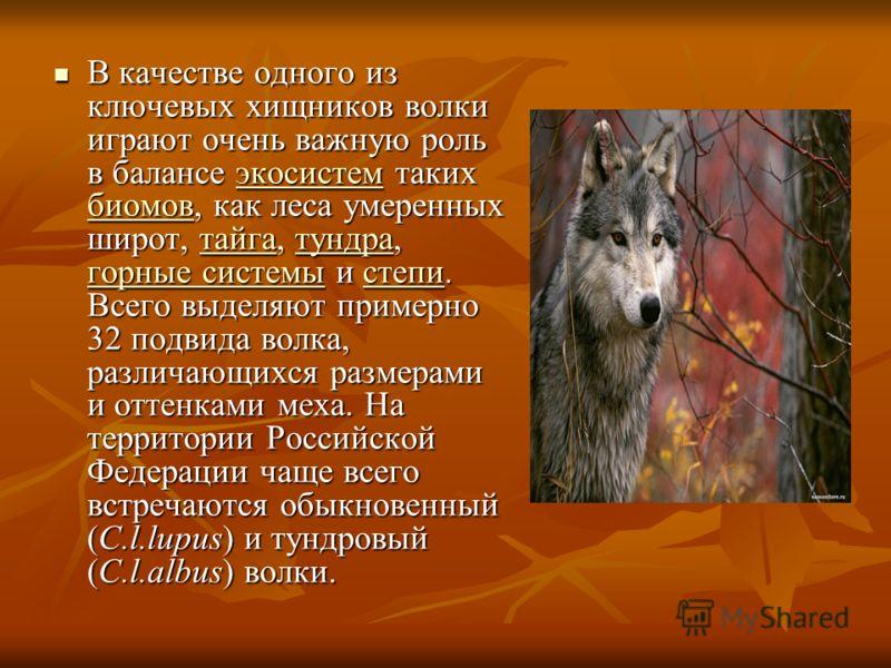 В качестве одного из ключевых хищников волки играют очень важную роль в балансе экосистем таких биомов, как леса умеренных широт, тайга, тундра, горные системы и степи. Всего выделяют примерно 32 подвида волка, различающихся размерами и оттенками мех