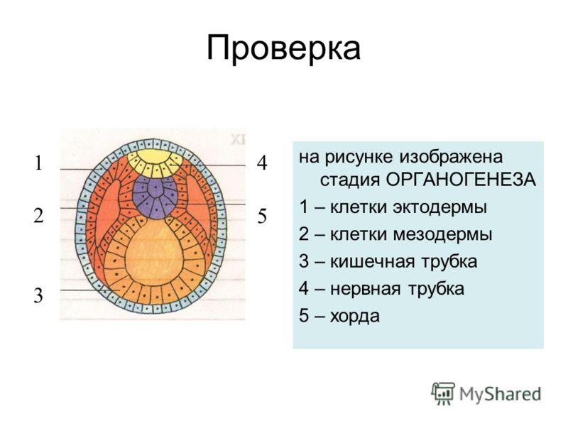 Проверка на рисунке изображена стадия ОРГАНОГЕНЕЗА 1 – клетки эктодермы 2 – клетки мезодермы 3 – кишечная трубка 4 – нервная трубка 5 – хорда 123123 4545