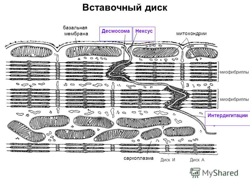 Вставочный диск базальная мембрана ДесмосомаНексус митохондрии миофибриллы саркоплазма Диск ИДиск А Интердигитации
