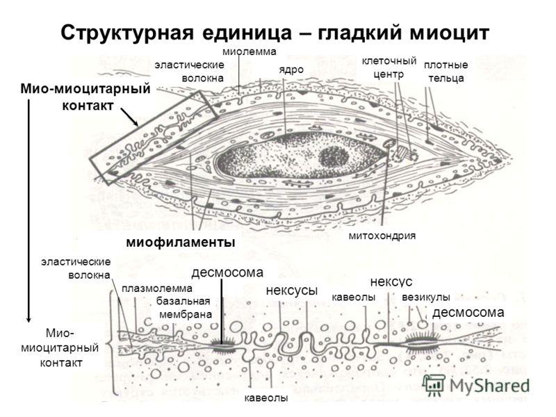Структурная единица – гладкий миоцит Мио-миоцитарный контакт миофиламенты митохондрия плотные тельца клеточный центр ядро миолемма эластические волокна эластические волокна плазмолемма базальная мембрана десмосома кавеолы нексусы нексус везикулы Мио-