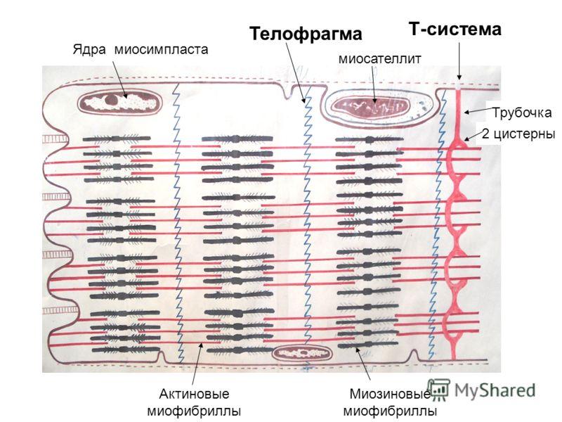 Ядра миосимпласта миосателлит Т-система Актиновые миофибриллы Миозиновые миофибриллы Телофрагма Трубочка 2 цистерны