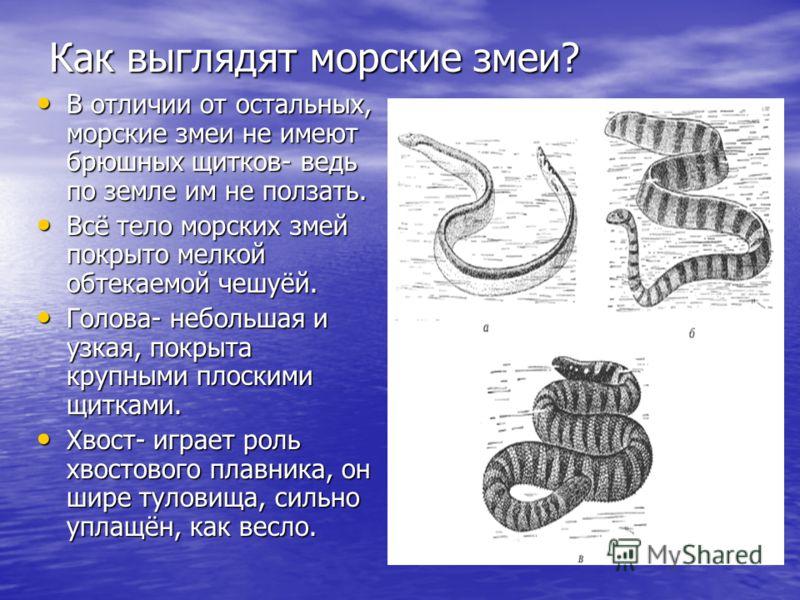 Как выглядят морские змеи? В отличии от остальных, морские змеи не имеют брюшных щитков- ведь по земле им не ползать. В отличии от остальных, морские змеи не имеют брюшных щитков- ведь по земле им не ползать. Всё тело морских змей покрыто мелкой обте