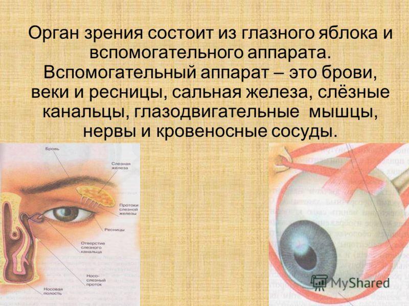Орган зрения состоит из глазного яблока и вспомогательного аппарата. Вспомогательный аппарат – это брови, веки и ресницы, сальная железа, слёзные канальцы, глазодвигательные мышцы, нервы и кровеносные сосуды.
