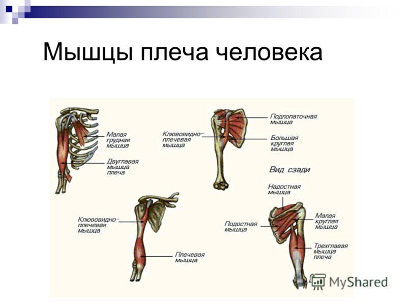 Мышцы плеча человека