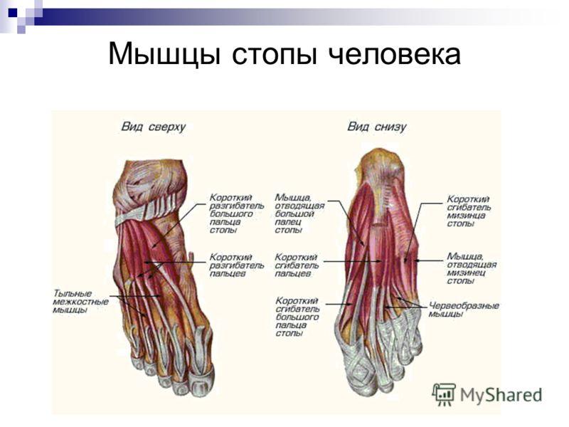 Мышцы стопы человека