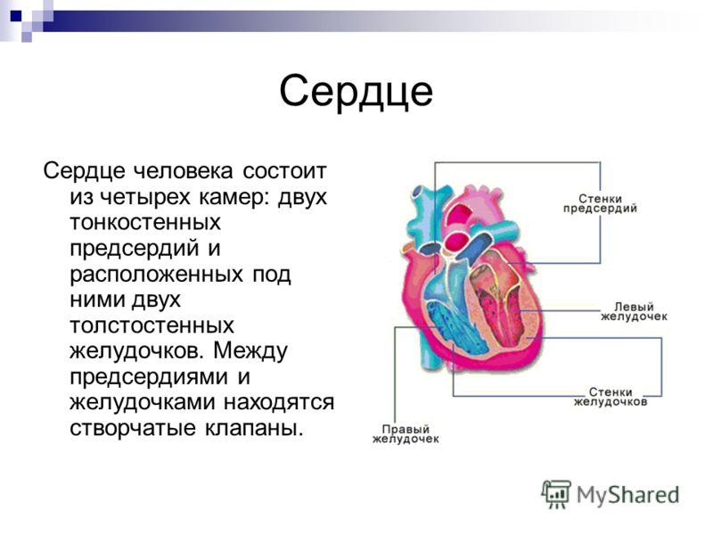 Сердце Сердце человека состоит из четырех камер: двух тонкостенных предсердий и расположенных под ними двух толстостенных желудочков. Между предсердиями и желудочками находятся створчатые клапаны.