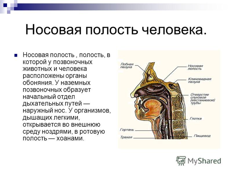 Носовая полость человека. Носовая полость, полость, в которой у позвоночных животных и человека расположены органы обоняния. У наземных позвоночных образует начальный отдел дыхательных путей наружный нос. У организмов, дышащих легкими, открывается во