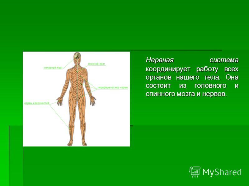 Нервная система координирует работу всех органов нашего тела. Она состоит из головного и спинного мозга и нервов.