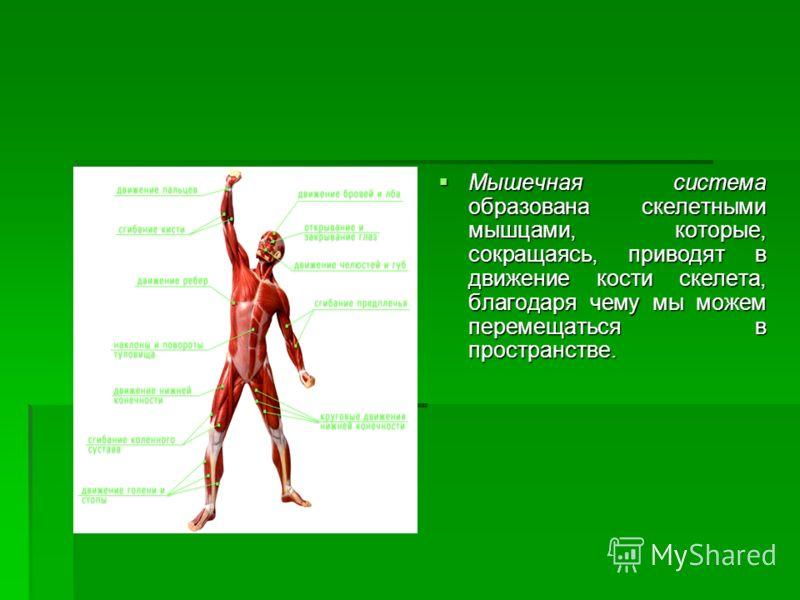 Мышечная система образована скелетными мышцами, которые, сокращаясь, приводят в движение кости скелета, благодаря чему мы можем перемещаться в пространстве. Мышечная система образована скелетными мышцами, которые, сокращаясь, приводят в движение кост