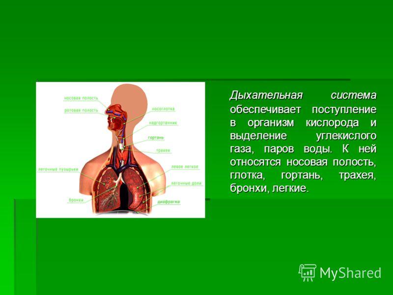 Дыхательная система обеспечивает поступление в организм кислорода и выделение углекислого газа, паров воды. К ней относятся носовая полость, глотка, гортань, трахея, бронхи, легкие.