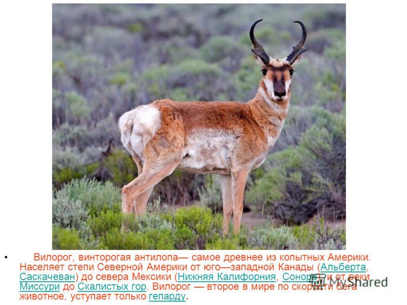 Вилорог, винторогая антилопа самое древнее из копытных Америки. Населяет степи Северной Америки от югозападной Канады (Альберта, Саскачеван) до севера Мексики (Нижняя Калифорния, Сонора), и от реки Миссури до Скалистых гор. Вилорог второе в мире по с