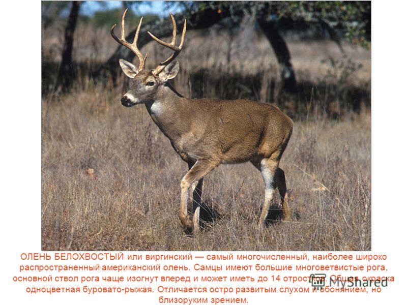 ОЛЕНЬ БЕЛОХВОСТЫЙ или виргинский самый многочисленный, наиболее широко распространенный американский олень. Самцы имеют большие многоветвистые рога, основной ствол рога чаще изогнут вперед и может иметь до 14 отростков. Общая окраска одноцветная буро