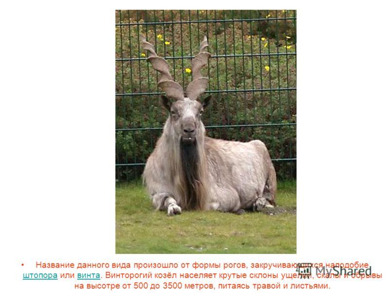 Название данного вида произошло от формы рогов, закручивающихся наподобие штопора или винта. Винторогий козёл населяет крутые склоны ущелий, скалы и обрывы на высотре от 500 до 3500 метров, питаясь травой и листьями. штопоравинта