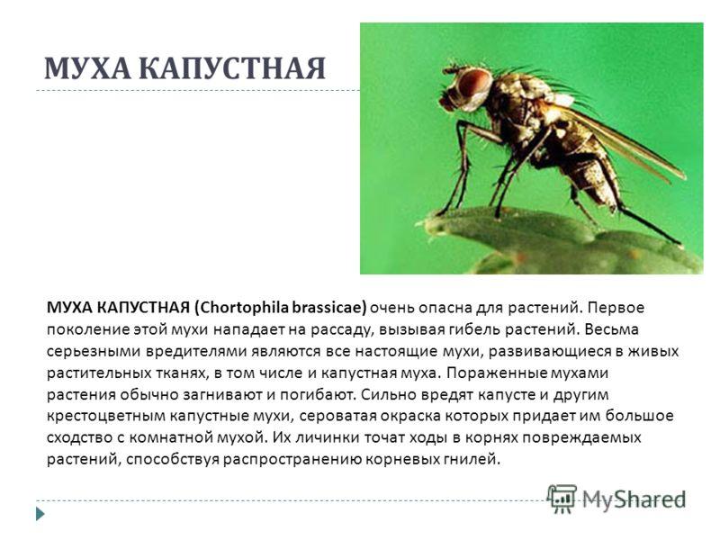 МУХА КАПУСТНАЯ МУХА КАПУСТНАЯ (Chortophila brassicae) очень опасна для растений. Первое поколение этой мухи нападает на рассаду, вызывая гибель растений. Весьма серьезными вредителями являются все настоящие мухи, развивающиеся в живых растительных тк