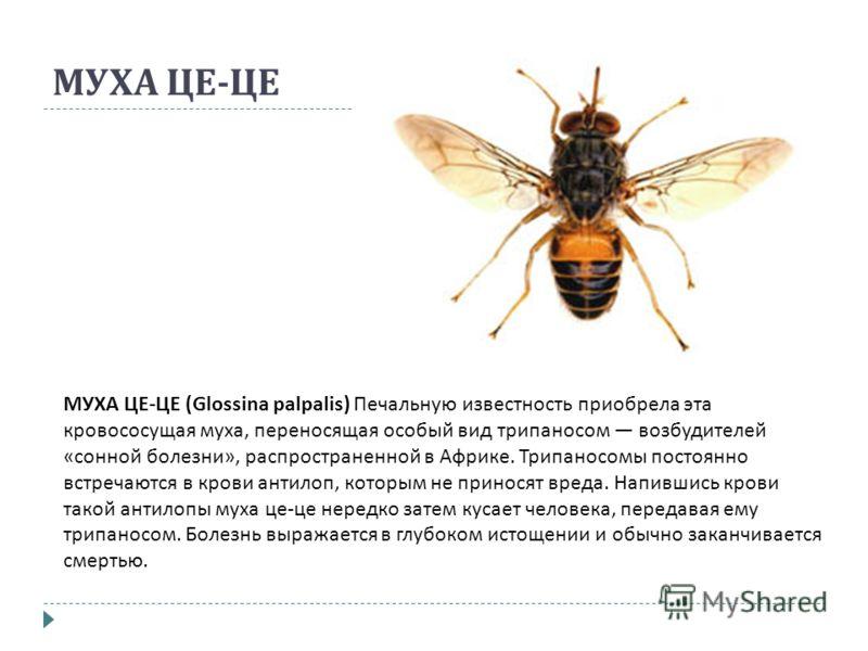МУХА ЦЕ - ЦЕ МУХА ЦЕ - ЦЕ (Glossina palpalis) Печальную известность приобрела эта кровососущая муха, переносящая особый вид трипаносом возбудителей « сонной болезни », распространенной в Африке. Трипаносомы постоянно встречаются в крови антилоп, кото
