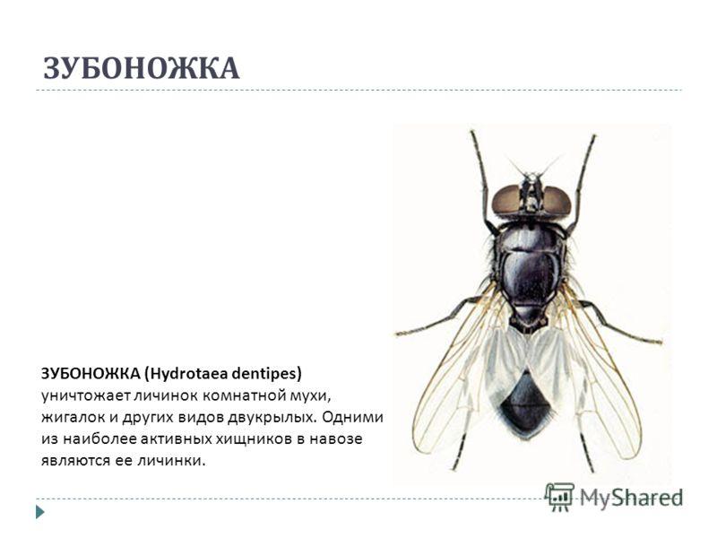 ЗУБОНОЖКА ЗУБОНОЖКА (Hydrotaea dentipes) уничтожает личинок комнатной мухи, жигалок и других видов двукрылых. Одними из наиболее активных хищников в навозе являются ее личинки.