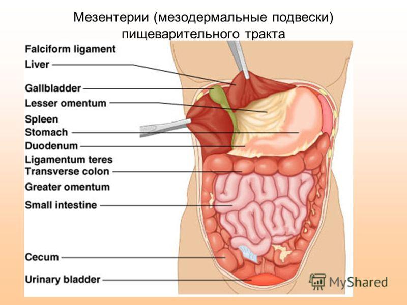 Мезентерии (мезодермальные подвески) пищеварительного тракта