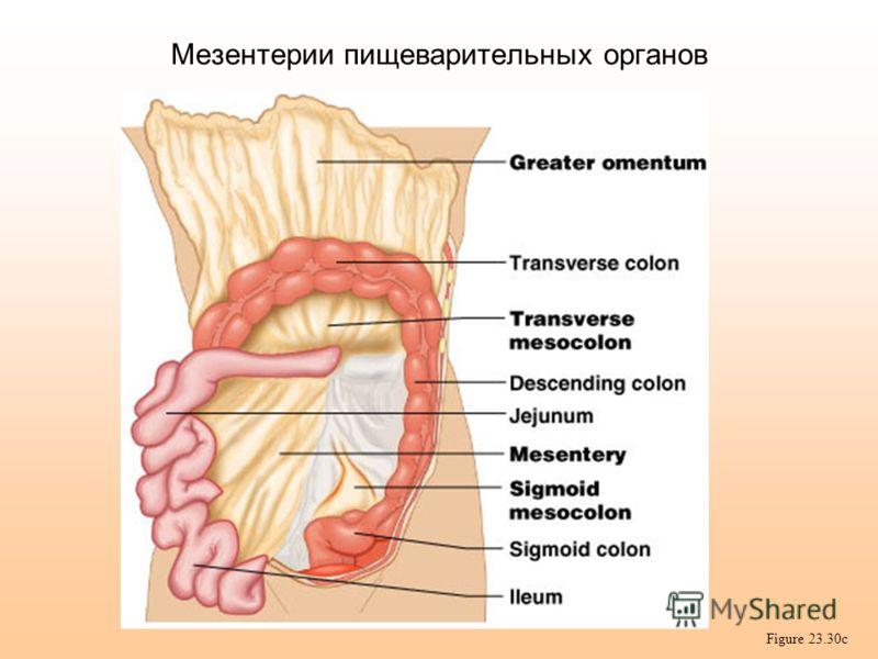 Мезентерии пищеварительных органов Figure 23.30c