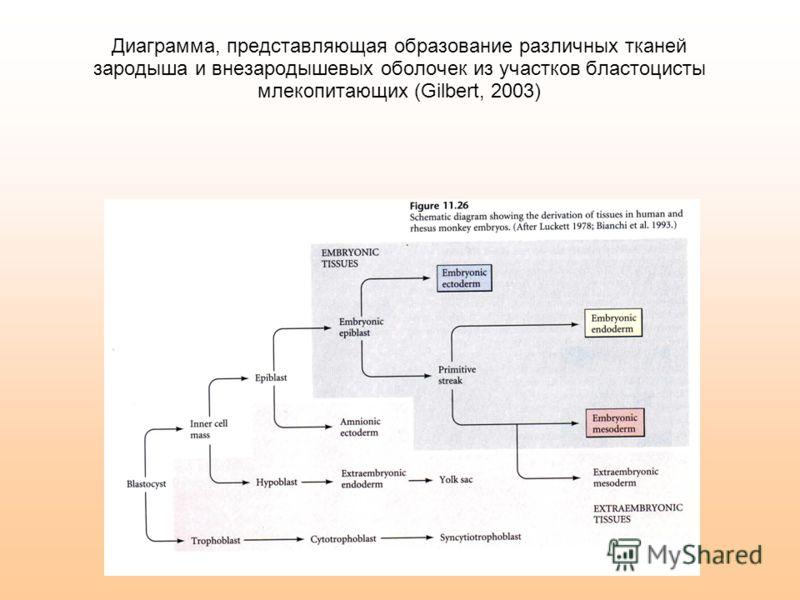 Диаграмма, представляющая образование различных тканей зародыша и внезародышевых оболочек из участков бластоцисты млекопитающих (Gilbert, 2003)