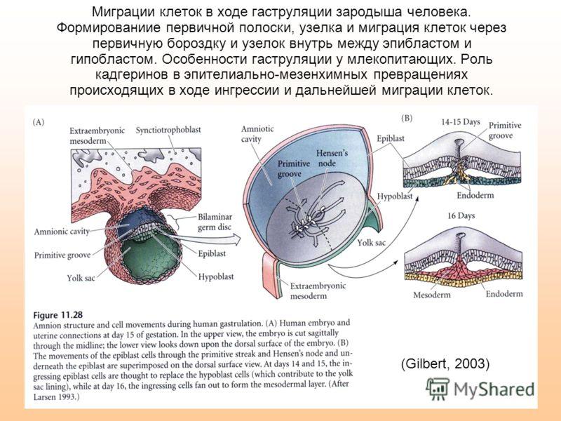 Миграции клеток в ходе гаструляции зародыша человека. Формированиие первичной полоски, узелка и миграция клеток через первичную бороздку и узелок внутрь между эпибластом и гипобластом. Особенности гаструляции у млекопитающих. Роль кадгеринов в эпител