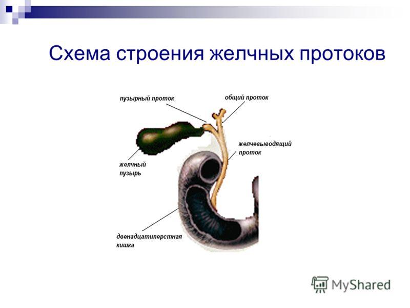 Схема строения желчных протоков