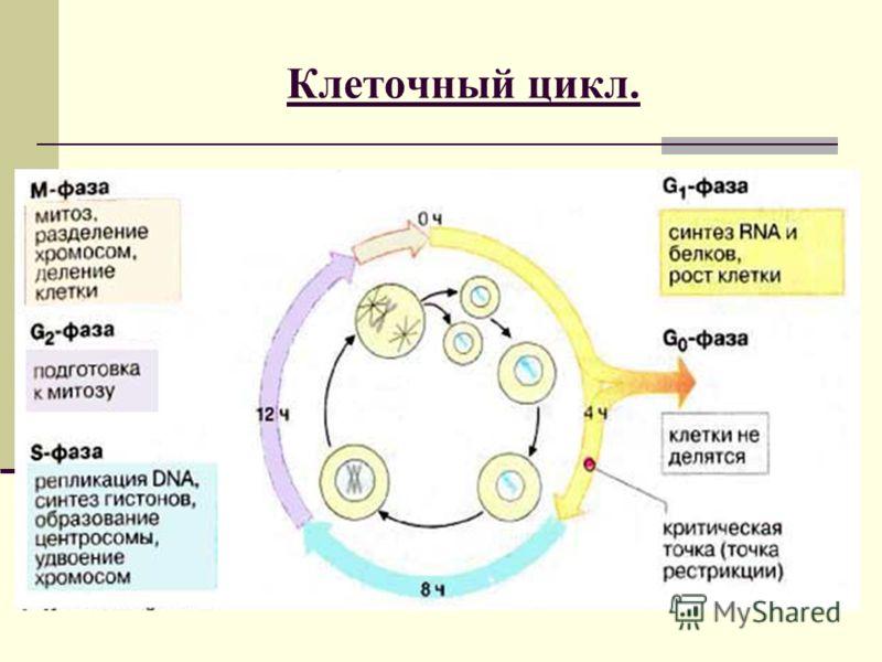 Клеточный цикл.