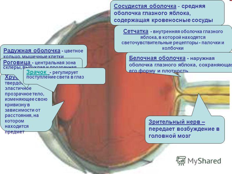 Сосудистая оболочка - средняя оболочка глазного яблока, содержащая кровеносные сосуды Сетчатка - внутренняя оболочка глазного яблока, в которой находятся светочувствительные рецепторы - палочки и колбочки Белочная оболочка - наружная оболочка глазног