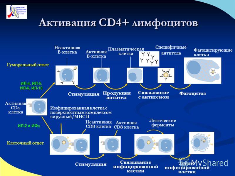 Активная CD4 клетка Неактивная B-клетка Активная B-клетка Плазматическая клетка Специфичные антитела Фагоцитирующие клетки Инфицированная клетка с поверхностным комплексом вирусный/MHC II Неактивная CD8 клетка Активная CD8 клетка Литические ферменты