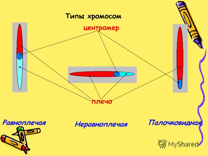 Типы хромосом Равноплечая Неравноплечая Палочковидная центромер плечо