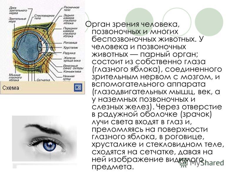 Орган зрения человека, позвоночных и многих беспозвоночных животных. У человека и позвоночных животных парный орган; состоит из собственно глаза (глазного яблока), соединенного зрительным нервом с мозгом, и вспомогательного аппарата (глазодвигательны
