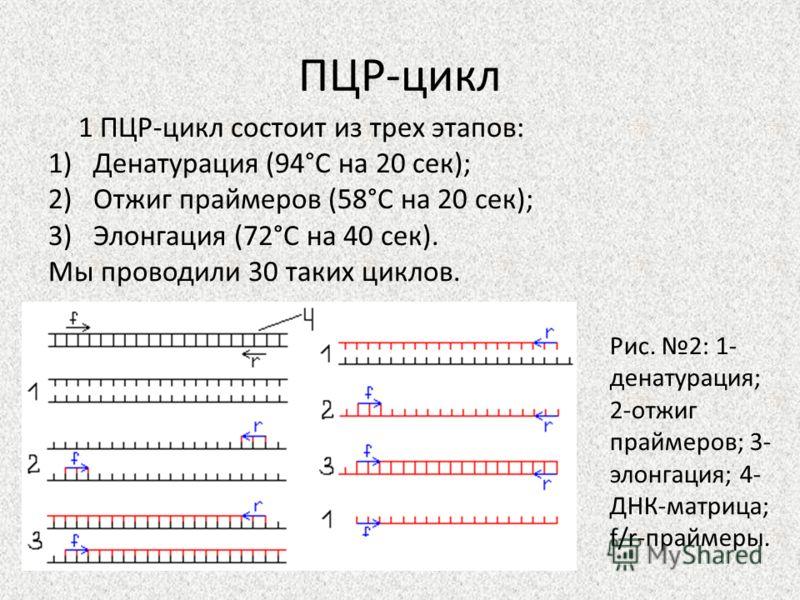 ПЦР-цикл 1 ПЦР-цикл состоит из трех этапов: 1)Денатурация (94°С на 20 сек); 2)Отжиг праймеров (58°С на 20 сек); 3)Элонгация (72°С на 40 сек). Мы проводили 30 таких циклов. Рис. 2: 1- денатурация; 2-отжиг праймеров; 3- элонгация; 4- ДНК-матрица; f/r-п