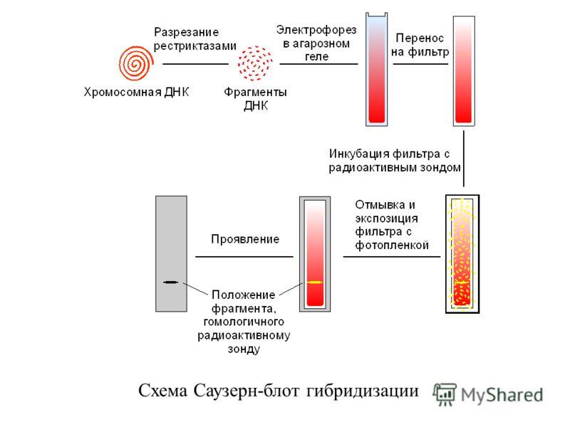 Схема Саузерн-блот гибридизации