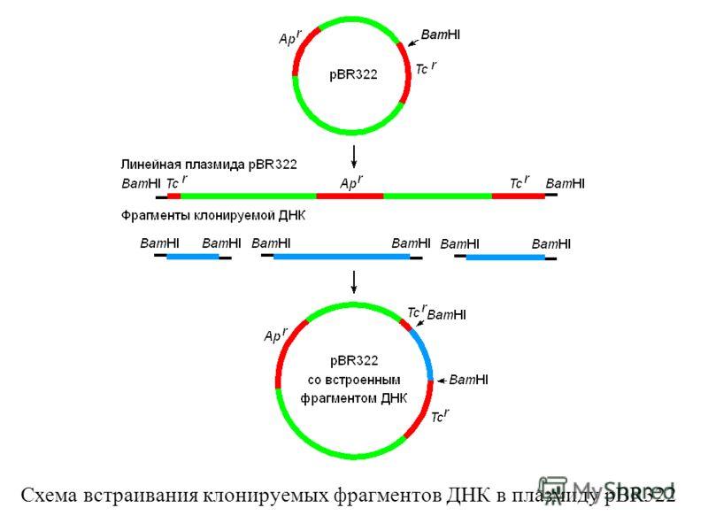 Схема встраивания клонируемых фрагментов ДНК в плазмиду pBR322