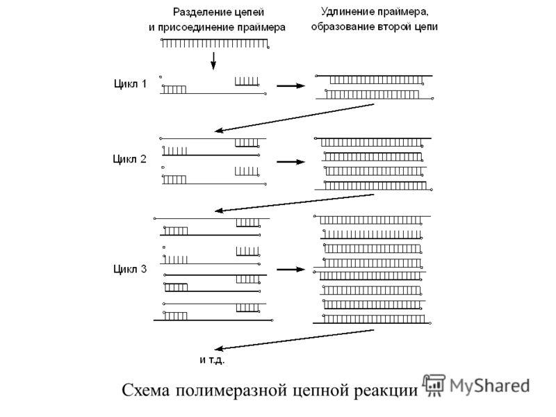 Схема полимеразной цепной реакции