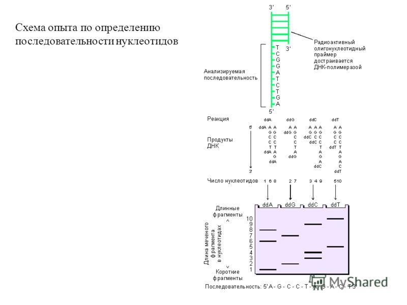 Схема опыта по определению последовательности нуклеотидов