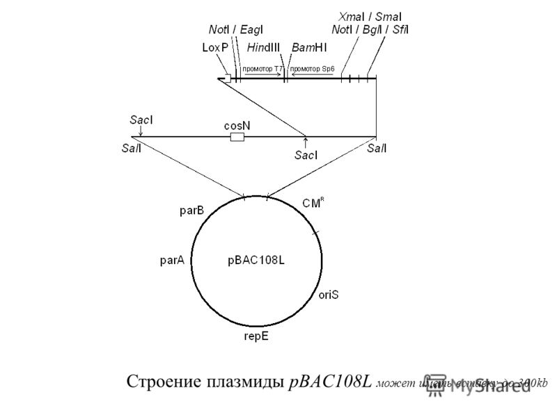 Строение плазмиды pBAC108L может иметь вставку до 300kb