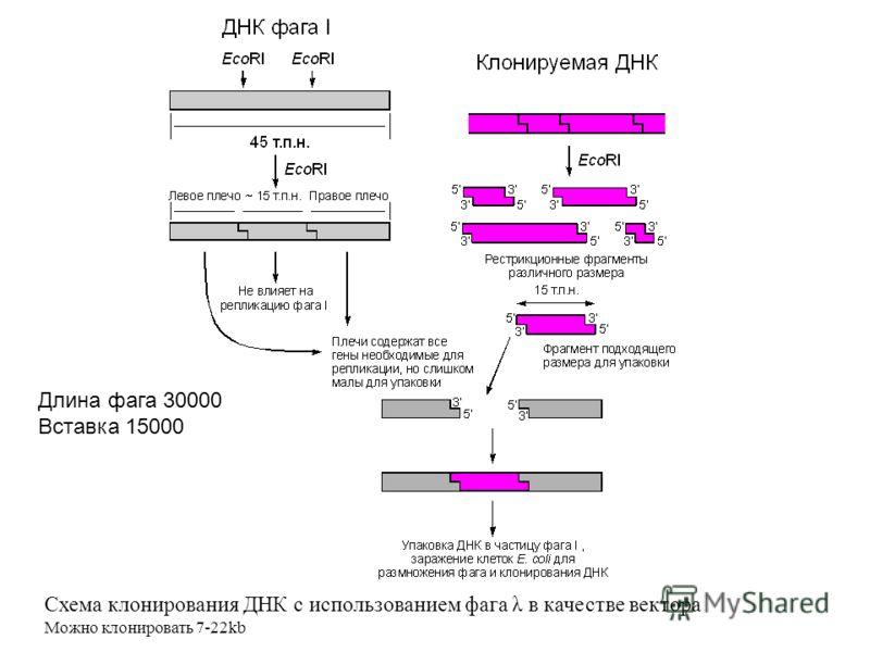 Схема клонирования ДНК с использованием фага λ в качестве вектора Можно клонировать 7-22kb Длина фага 30000 Вставка 15000