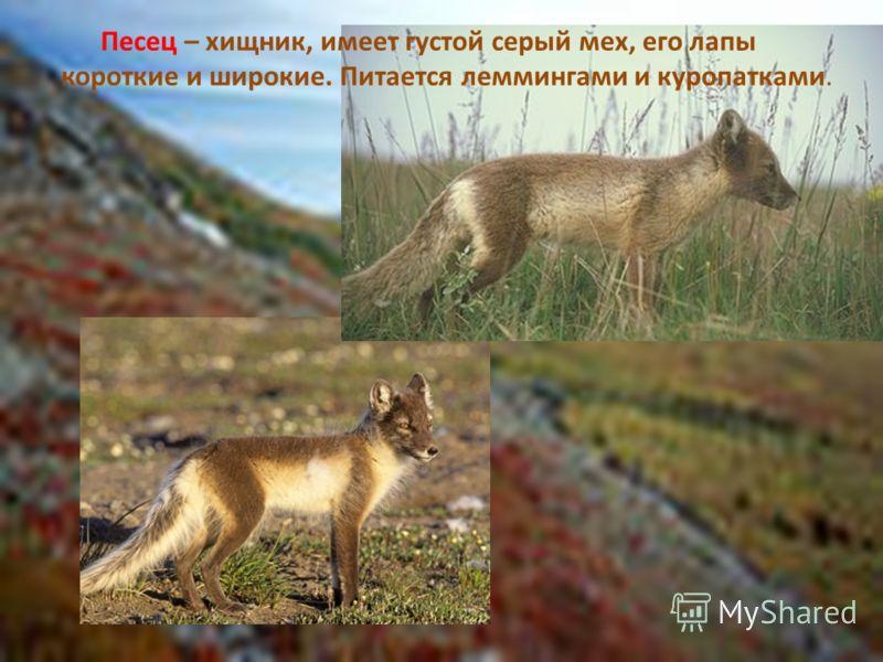 Песец – хищник, имеет густой серый мех, его лапы короткие и широкие. Питается леммингами и куропатками.