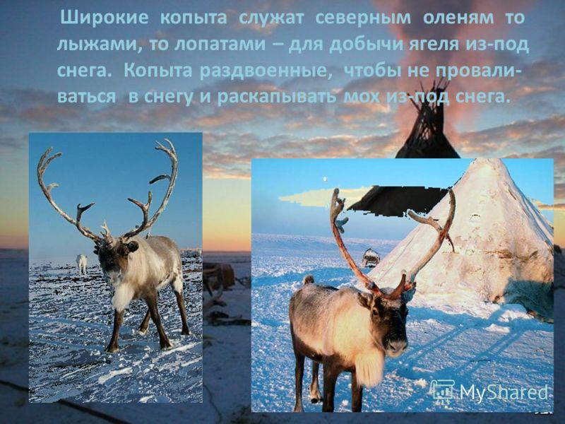Широкие копыта служат северным оленям то лыжами, то лопатами – для добычи ягеля из-под снега. Копыта раздвоенные, чтобы не провали- ваться в снегу и раскапывать мох из-под снега.